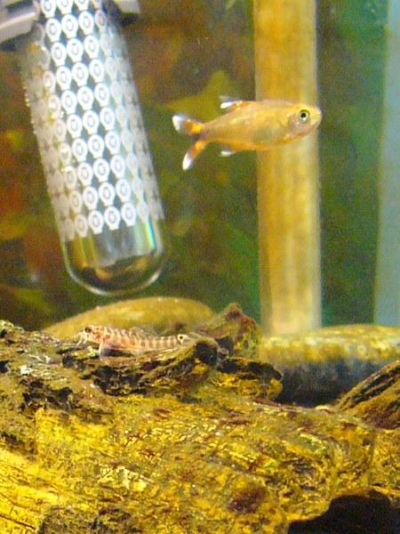 Acanthocobitis botia - Baby with Tetra