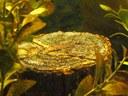 "Acanthocobitis botia - Baby on 3.5"" diameter log surface."