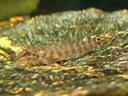 Acanthocobitis botia - Closeup of baby.