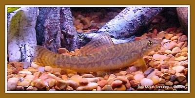 Acanthocobitis botia - Female.