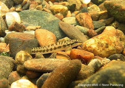 Acanthocobitis zonalterans -In natural stream