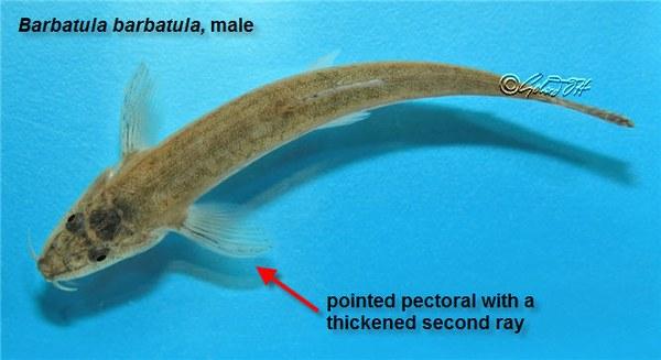 Barbatula barbatula - male