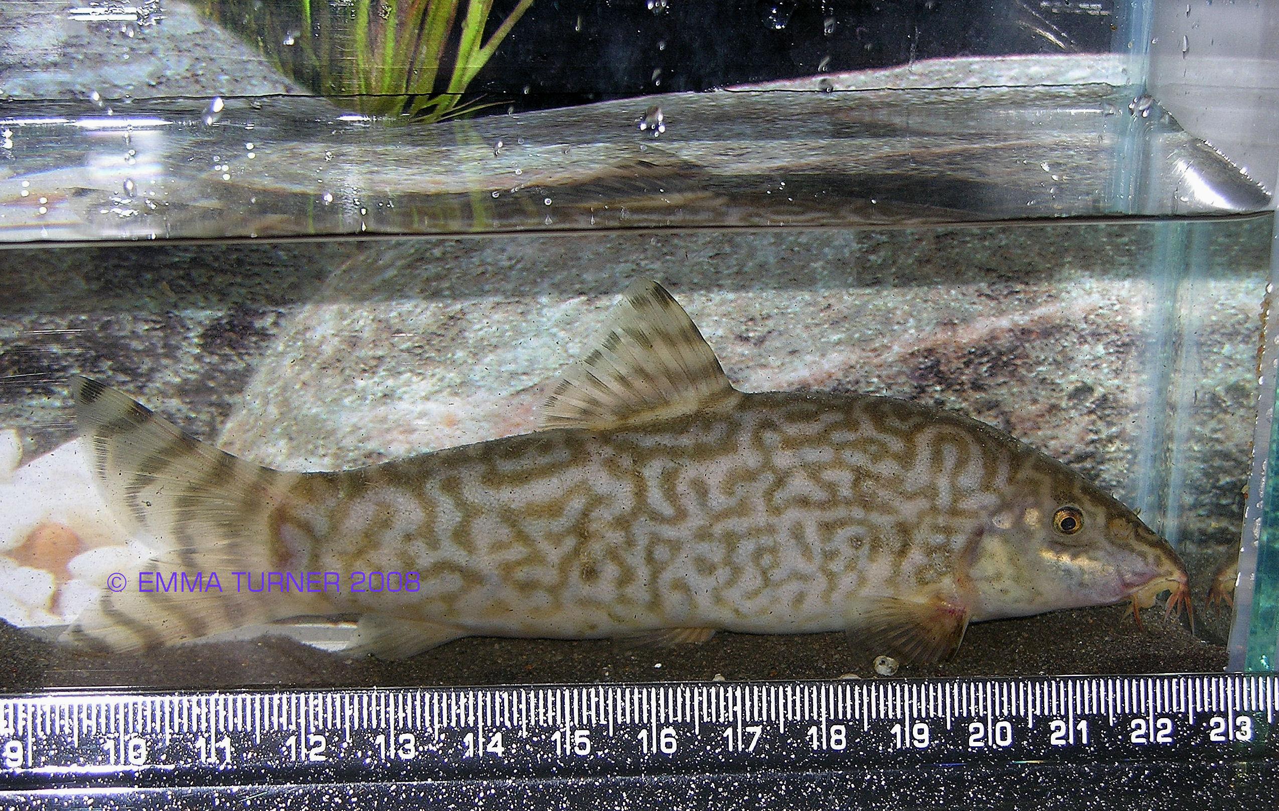 Botia almorhae - large adult