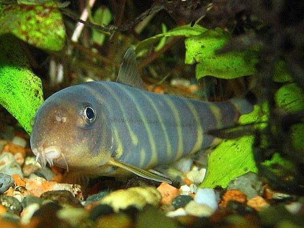 Botia dario loaches online for Loach fish types