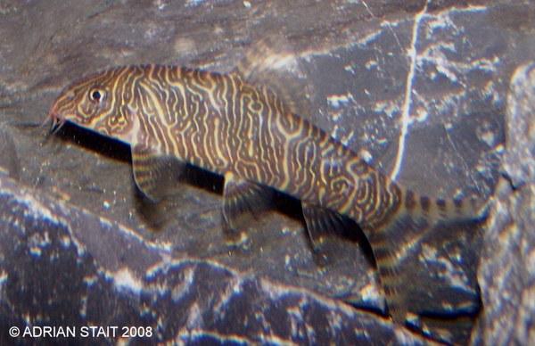 Botia striata with unusual markings