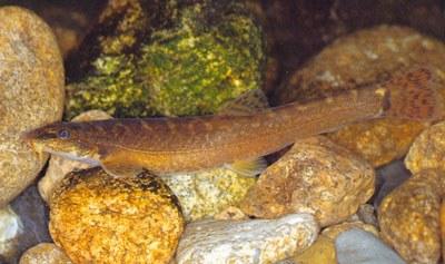 "Barbatula toni, from ""Raising Korean Fish"" (used with permission)"