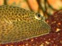 Beaufortia kweichowensis - closeup