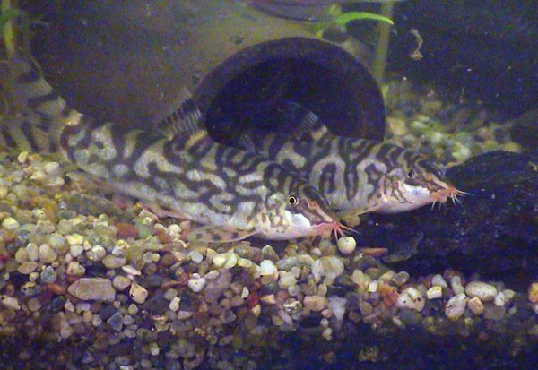 Botia almorhae - Adult males