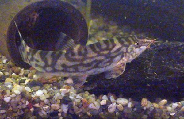 Botia almorhae -Male