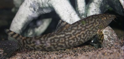 Botia almorhae - Adult with reticulated markings