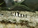 Botia histronica, juvenile