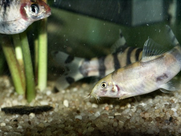"""Botia histronica - Two fighting. Front fish is """"grayed out"""""""