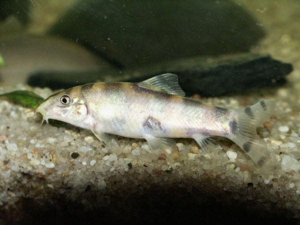 Botia histronica fish showing damage on side after fight for Loach fish types