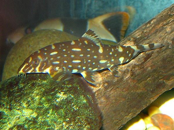 Botia kubotai - Melanistic type