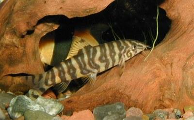 Botia rostrata, adult pattern