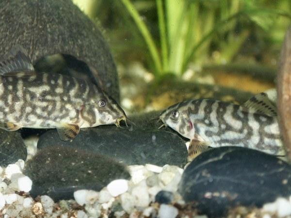 Botia rostrata - Adult female (left) & male (right)