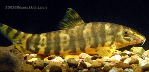 "Botia unknown01 - 5"" Adult"