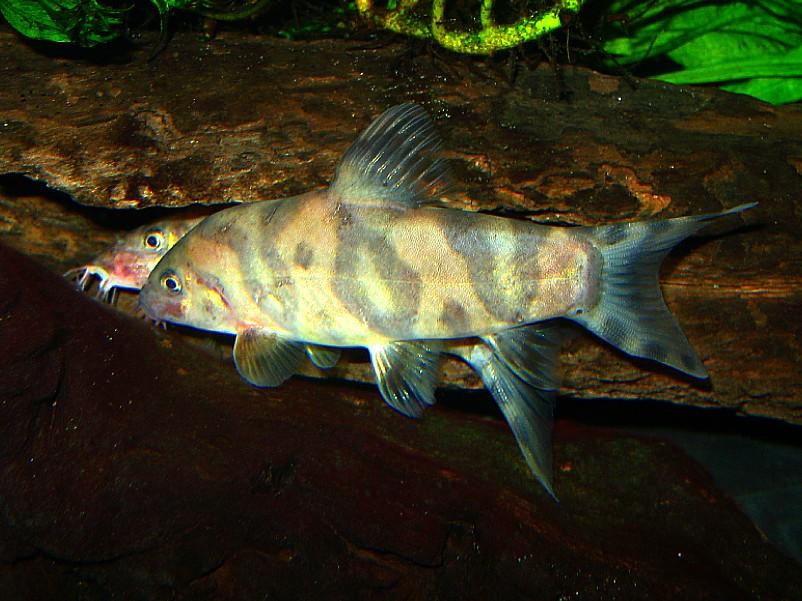 Botia histrionica altercation pics vid loaches for Loach fish types