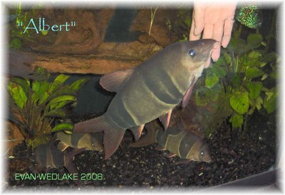 Chromobotia macracanthus: Albert, the 17 year old clown loach.