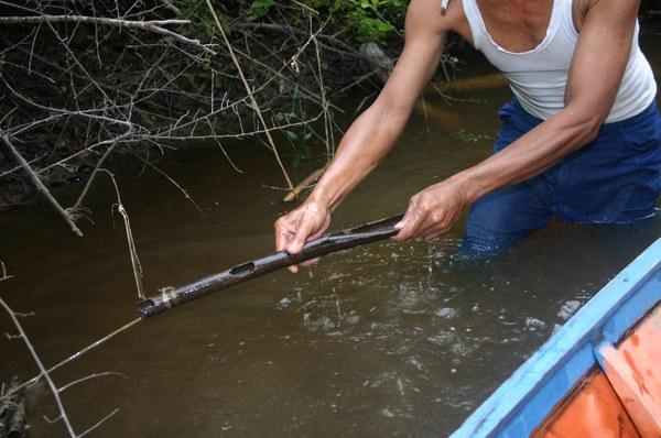 "Chromobotia macracanthus wild catching technique using ""tabung"""