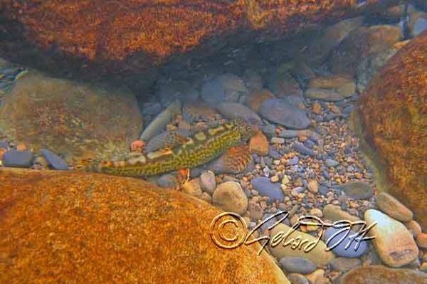 Crossostoma lacustre - underwater photo taken in Bei Shih (Bei River) near Pinlin