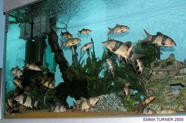 Chromobotia macracanthus group in a large tank