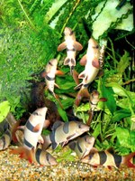 "Chromobotia macracanthus - A group engaged in ""Loach-dancing"""