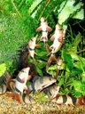 """Chromobotia macracanthus - A group engaged in """"Loach-dancing"""""""