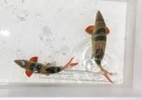 "Chromobotia macracanthus, 8.5"" and 10.5"" fish"