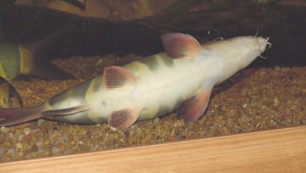 Chromobotia macracanthus - Basil's belly