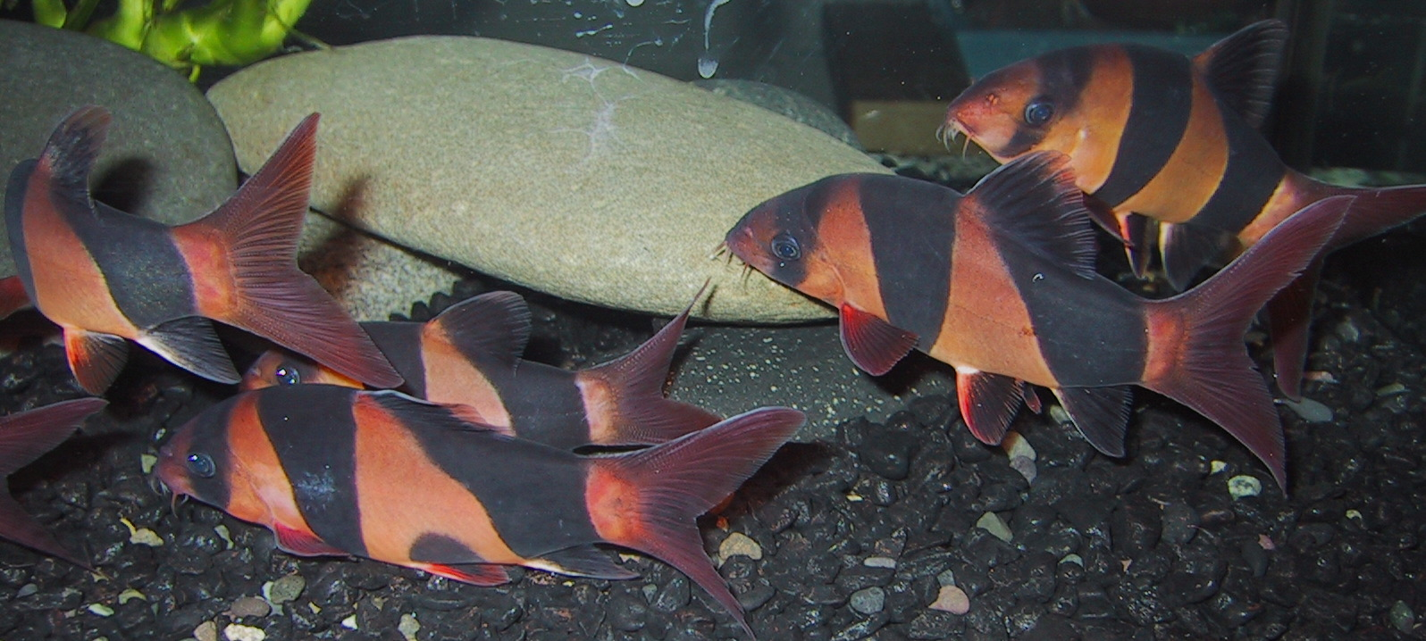Chromobotia macracanthus - Group of very colorful Clowns
