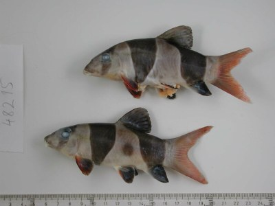 Chromobotia macracanthus -Two fish that died and were preserved