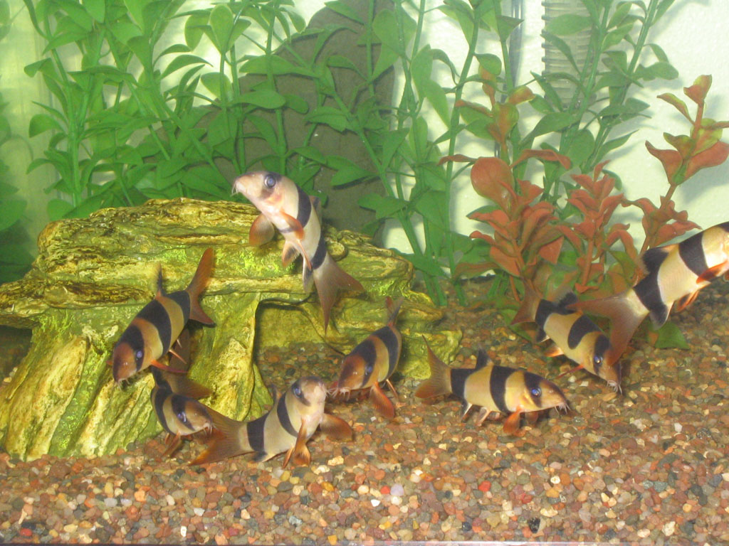 Chromobotia macracanthus - Group of youngsters