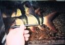 Chromobotia macracanthus - Large specimen at Capitol Aquarium