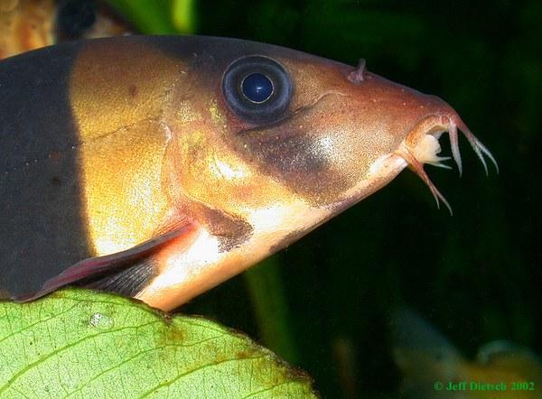 Chromobotia macracanthus - Head detail