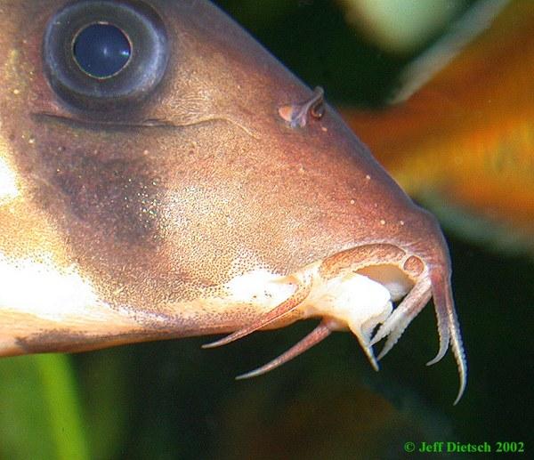 Chromobotia macracanthus - Mouth detail