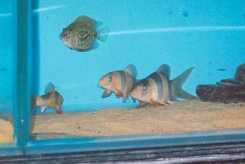 Chromobotia macracanthus - Short-bodied fish