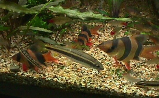 Chromobotia macracanthus - Group of short-bodied fish
