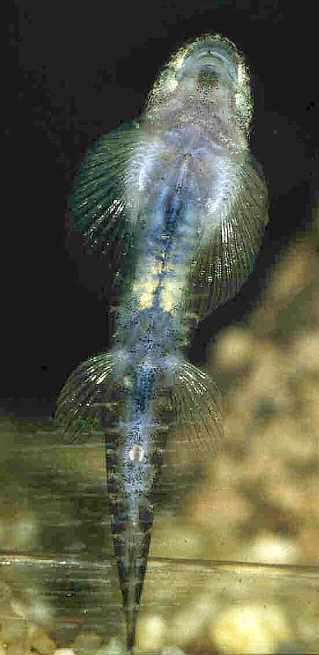 Erromyzon sinensis, underside