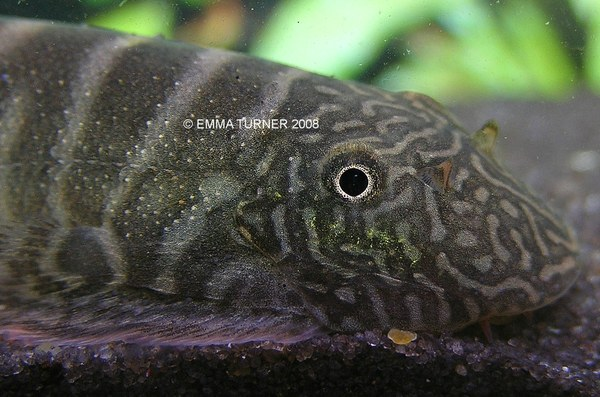 Gastromyzon viriosus - head close-up