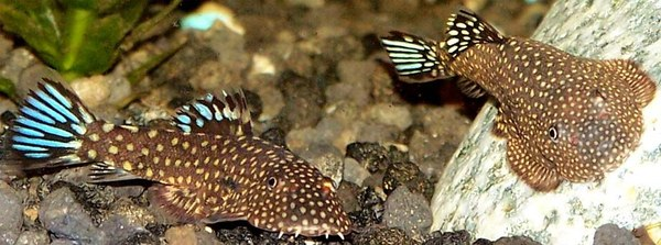 Gastromyzon ctenocephalus - Two fish with flared fins