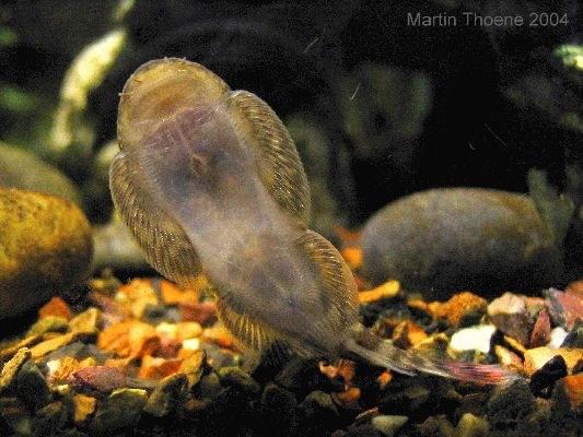 Gastromyzon ocellatus, underside