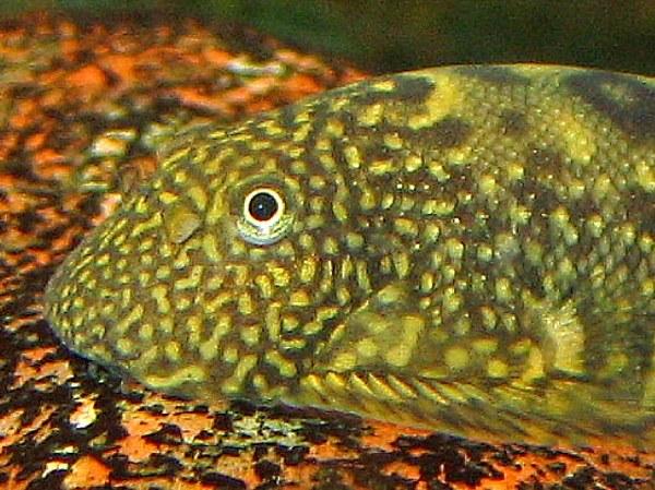 Gastromyzon ocellatus - Closeup of head