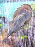 Gastromyzon stellatus, underside