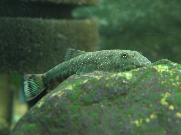 Gastromyzon unknown03 loaches online for Loach fish types