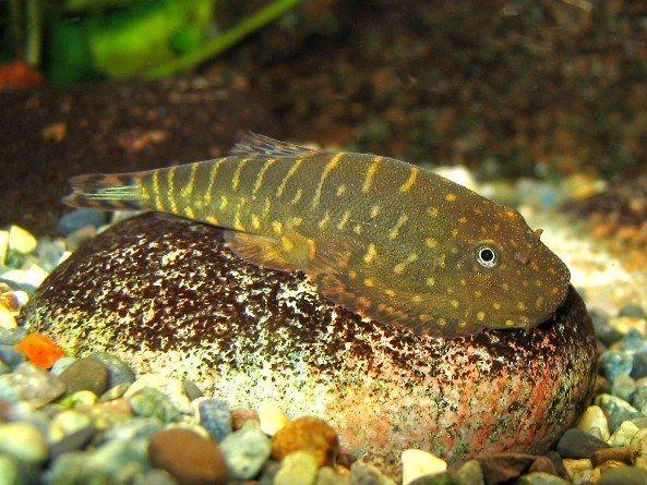 See: Hillstream Loaches - The Specialists at Life In The Fast Lane for ...