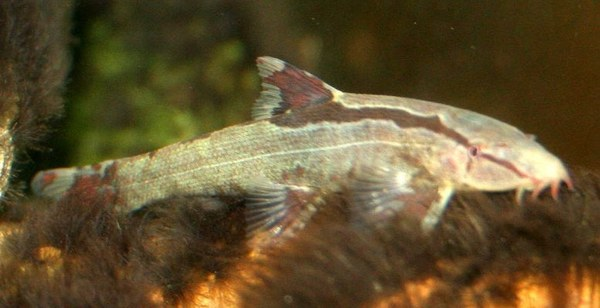 Homaloptera bilineata