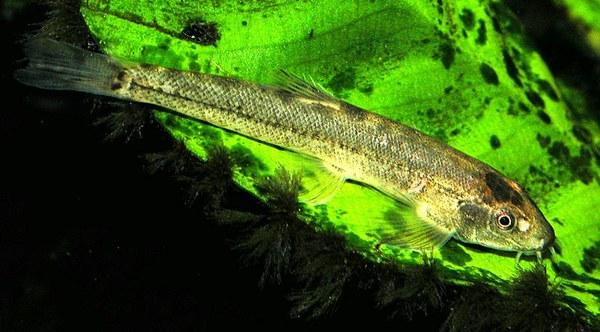 Homaloptera gymnogaster