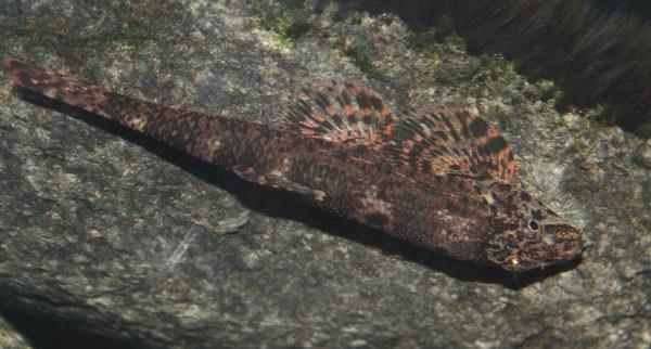 Homalopteroides smithi