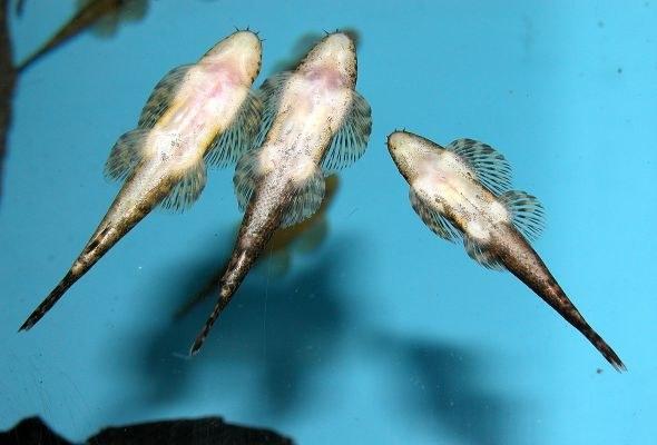 Homaloptera smithi